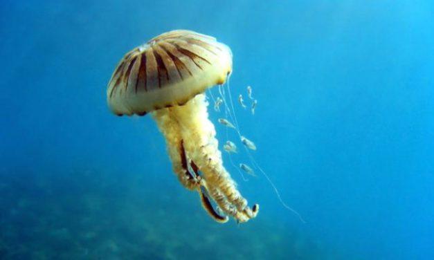 Akdeniz için zehirli denizanası uyarısı! Ölüsüne bile sakın dokunmayın