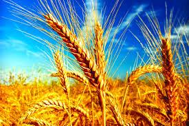 Dünya Alarmda! Sadece 26 Gün Yetecek Kadar Buğday Kaldı