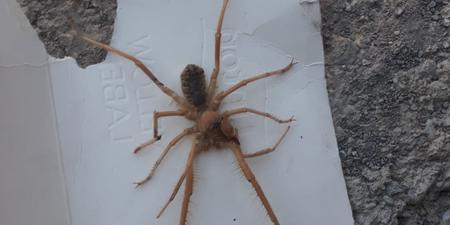 Sınırda sarıkız örümceği paniği