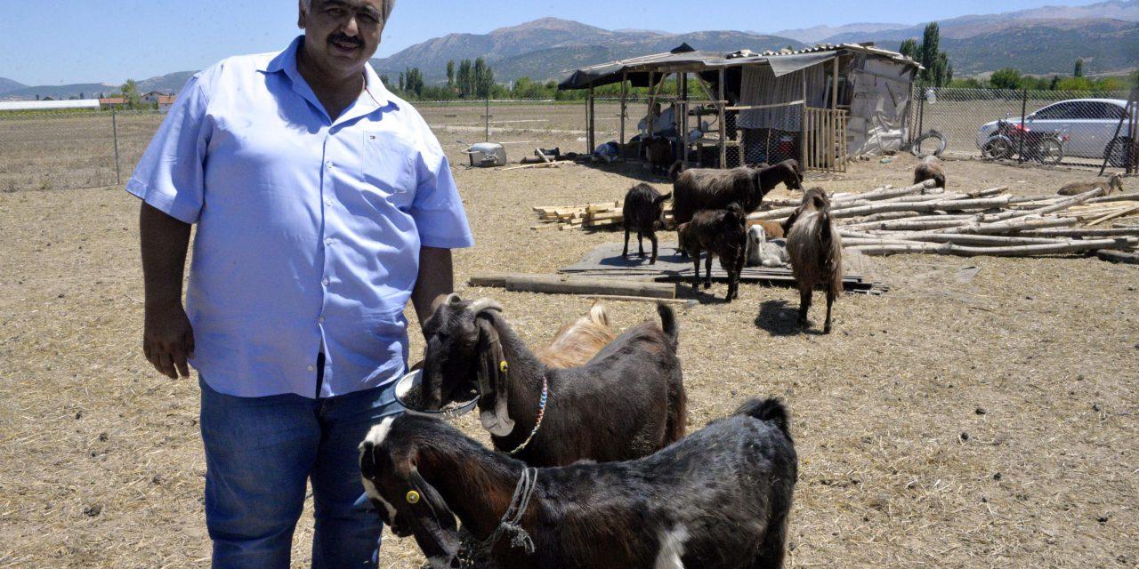 Şampiyon kulüp, futbolcu satıp keçi aldı