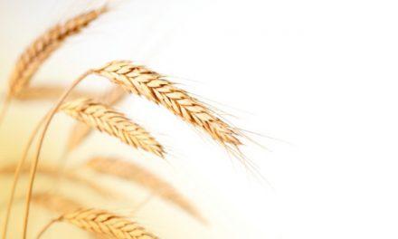 Buğday da patates soğan gibi alarmda!