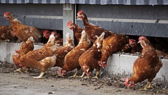 Cezayir'de kuş gribi alarmı: OHAL ilan edildi